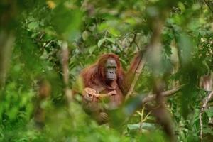 Priroda - veda - a - zivotni - prostredi - 248 - lukas - zeman - 551 - orangutani - matka - spotomkem - 001
